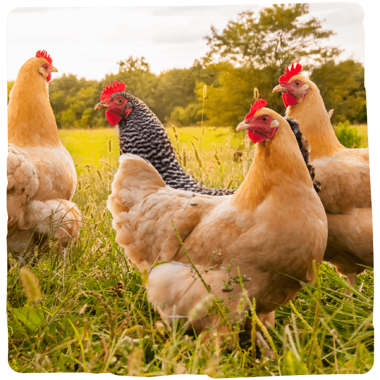 Freie Hühner